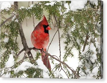 Canvas Print featuring the photograph Leucistic Northern Cardinal by Everet Regal