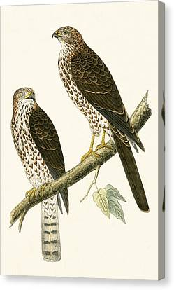 Levant Sparrow Hawk Canvas Print by English School