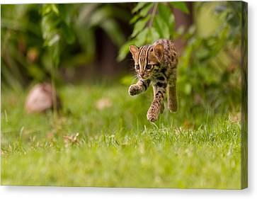 Levitating Leopard Cat Canvas Print by Ashley Vincent