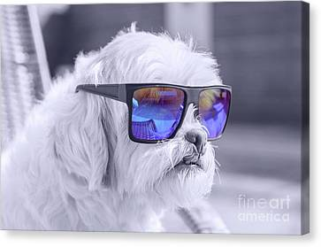 Lhasa Apso Dog Taking Sunbath And Wearing Blue Sunglasses Canvas Print