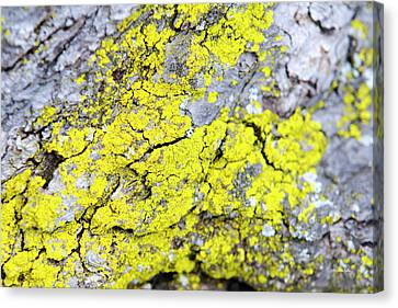 Canvas Print featuring the photograph Lichen Pattern by Christina Rollo