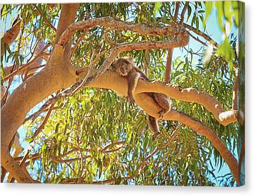 Canvas Print featuring the photograph Life's Hard, Yanchep National Park by Dave Catley