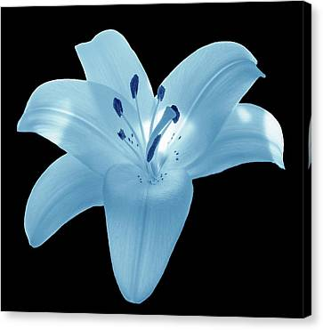 Light Blue Lily Canvas Print