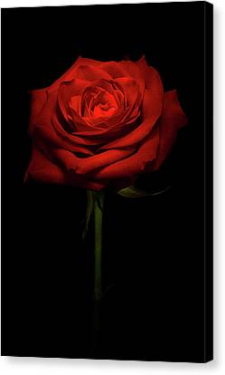 Light Kissed Rose Canvas Print