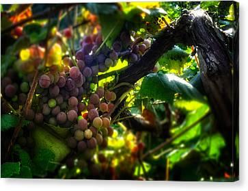 Grape Leaf Canvas Print - Light On The Fruit by Greg Mimbs