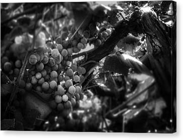 Light On The Fruit In Black And White Canvas Print by Greg Mimbs