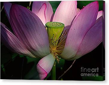Light On The Lotus Canvas Print by John S