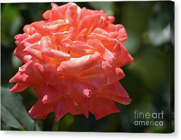 Light Orange Color Rose Canvas Print by Ruth Housley