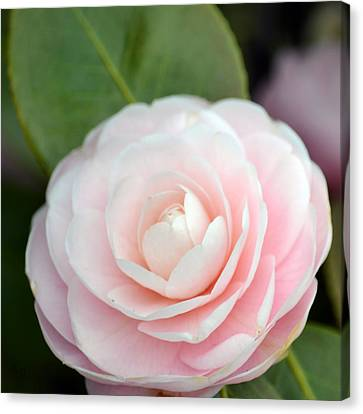 Light Pink Camellia Flower Canvas Print