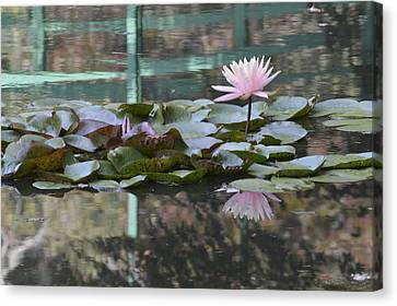 Light Pink Water Lily Canvas Print by Linda Geiger