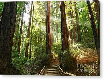 Redwoods Canvas Print - Light The Way - Redwood Forest Of Muir Woods National Monument With Sun Beam. by Jamie Pham