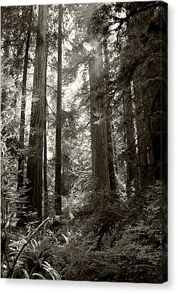 Light Through Redwoods Canvas Print by Kathleen Grace