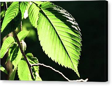 Light Up Leaf Canvas Print by Jonathan Michael Bowman