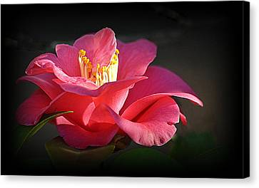 Canvas Print featuring the photograph Lighted Camellia by AJ Schibig