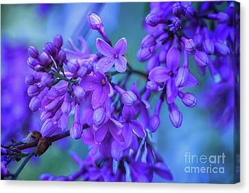 Lilac Blues Canvas Print