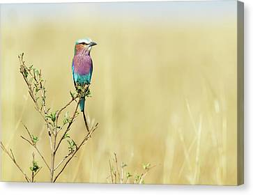 Lilac-breasted Roller (coracias Caudata) Canvas Print by Elliott Neep
