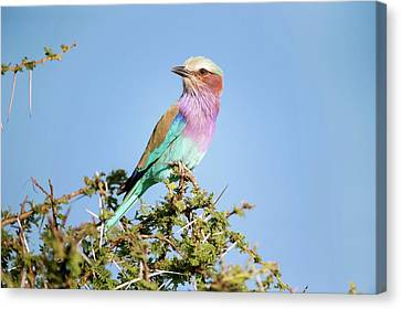 Lilac-breasted Roller In A Thorn Bush Canvas Print