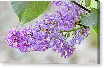 Lilac Cluster Canvas Print by Skip Tribby