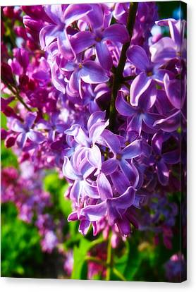 Lilac In The Sun Canvas Print by Julia Wilcox