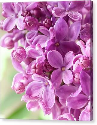 Lilac Canvas Print by Mariola Szeliga