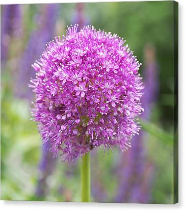 Lilac-pink Allium Canvas Print by Rona Black