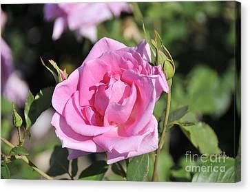 Lilac Rose 2 Canvas Print by Rudolf Strutz