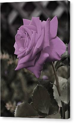 Lilac Rose Canvas Print by Vijay Sharon Govender