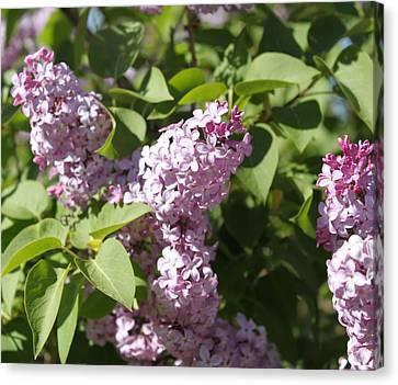 Canvas Print featuring the photograph Lilacs 5544 by Antonio Romero