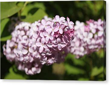 Canvas Print featuring the photograph Lilacs 5549 by Antonio Romero