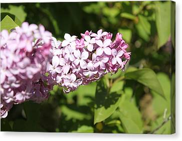 Canvas Print featuring the photograph Lilacs 5550 by Antonio Romero