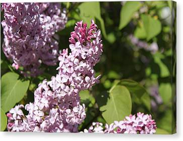 Canvas Print featuring the photograph Lilacs 5552 by Antonio Romero