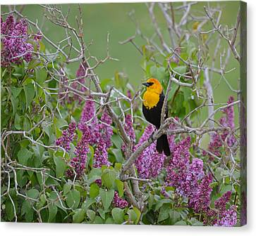 Lilacs And Yellowhead Blackbirds Canvas Print