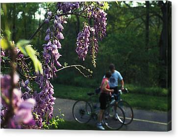 Lilacs In Bloom Canvas Print by Carl Purcell