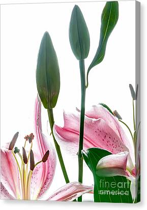 Canvas Print featuring the photograph Pink Oriental Starfire Lilies by David Perry Lawrence