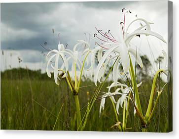 Lilies Thunder Canvas Print by Christopher L Thomley