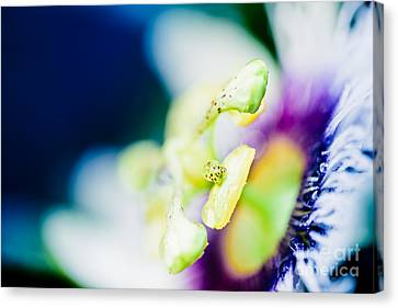 Lilikoi Passion Flower In Colourful Jewel Tones Canvas Print by Sharon Mau