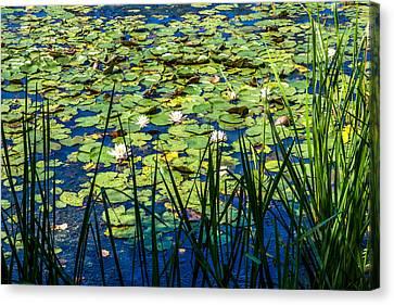 Lilly Pad Pond Canvas Print by Andrew Kazmierski