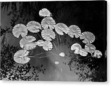 Lilly Pads Fakahtchee Strand Canvas Print by Jim Dohms