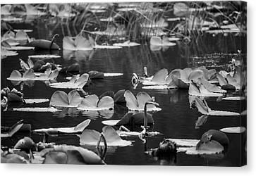 Lilly Pond  Canvas Print