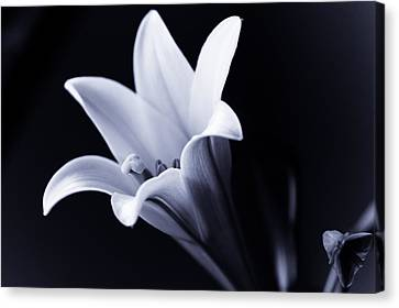 Lily In Black And White Canvas Print by Edward Myers