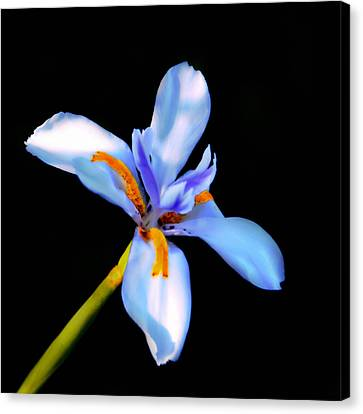 Lily In Blue Canvas Print by Lyle  Huisken