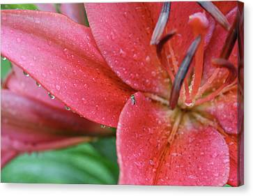 Lily In Rain Canvas Print by Jessica Pope