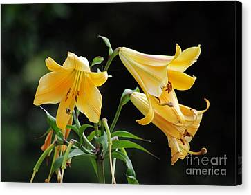 Lily Lily Where Art Thou Lily Canvas Print