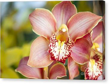 Lily-like Lovelies  Canvas Print by A New Focus Photography