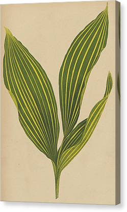 Lily Of The Valley Canvas Print by English School