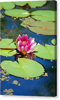 Lily Pond Canvas Print by Donna Bentley