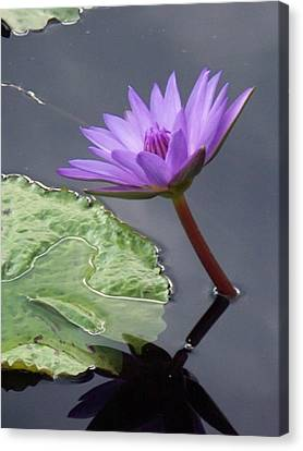Lily Pond Canvas Print by Eric  Schiabor