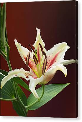 Pestal Canvas Print - Lily Pretty by Irma BACKELANT GALLERIES