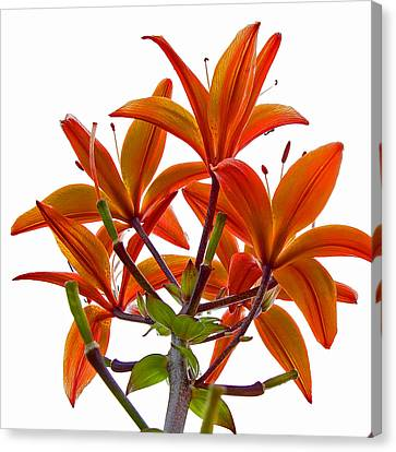 Lily Canvas Print by Robert Knight