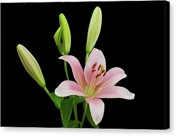 Lily The Pink Canvas Print